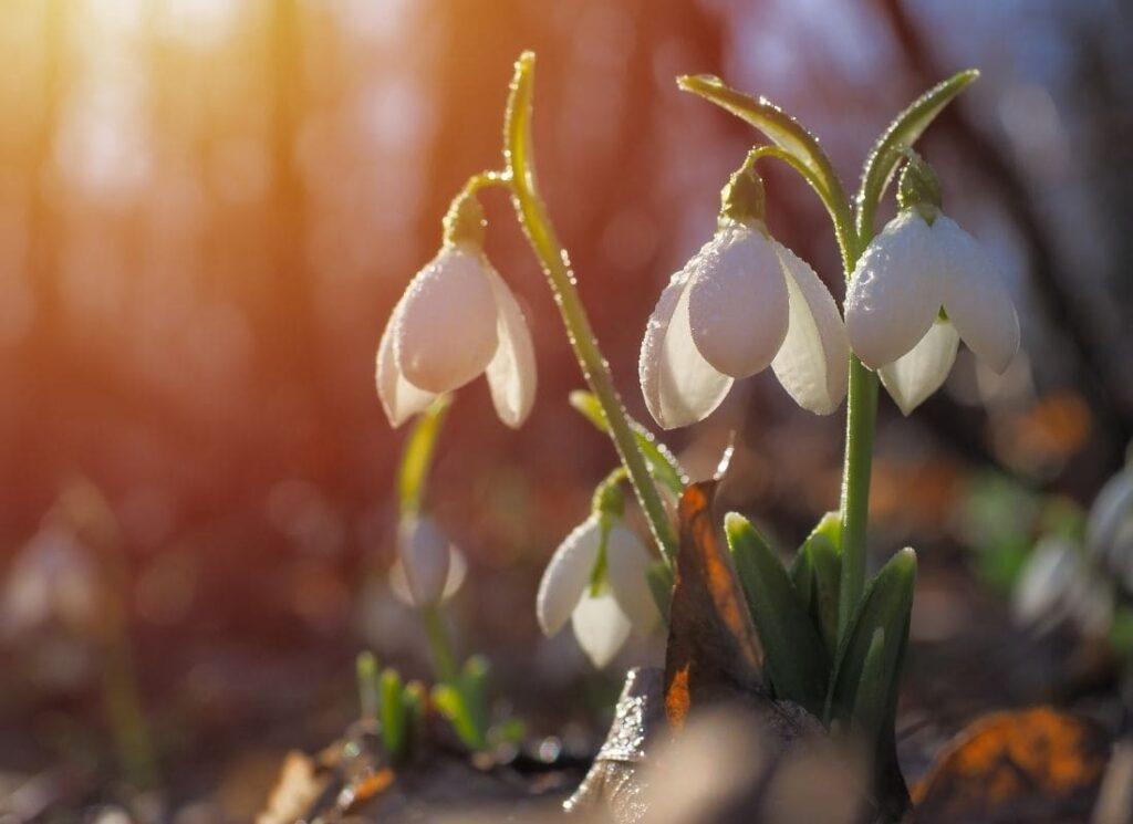 Imbolc, purification et renaissance, signes du printemps